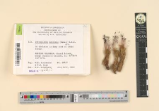 Tetraplodon mnioides (Hedw.) B.S.G.
