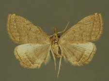 Pechipogo strigilata (Linnaeus, 1758)