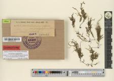 Porotrichum pennaeforme var. brachyphyllum Rehm.