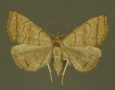 Polypogon tentacularia (Linnaeus, 1758)