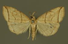 Herminia grisealis (Denis & Schiffermüller, 1775)