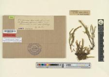Prionodon africanus Rehm.