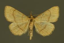 Paracolax tristalis (Fabricius, 1794)