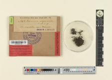 Grimmia nigro-viridis C.M