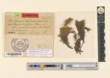 Hypnum brevifolium Rehm.