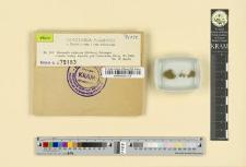 Dicranella rufescens (Dickson) Schimper