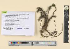 Pogonatum japonicum Sull. & Lesq.