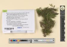 Myuroclada longiramea (Müll.Hal.) Min Li, Y.F. Wang, Ignatov & Huttunen