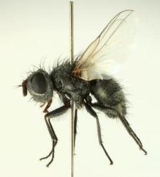 Melisoneura leucoptera (Meigen, 1824)