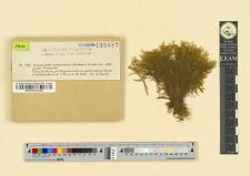 Drepanocladus pupurascens (Schimper) Loeske var. orthophyllus Warnstorf