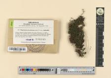 Plagiomnium succulentum (Mitt.) T.J. Kop.