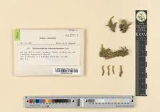 Distichophyllum collenchymatosum Card.