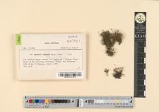 Miyabea fruticella (Mitt.) Broth.