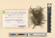 Brachylema subulatum (P.-Beauv.) Schimp. ex Card.