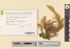 Stokesiella oregana (Sull.) Robins.
