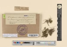 Pterogonium gracile L. var. capensis
