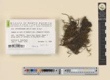 Orthotrichum lyellii Hook. & Tayl.