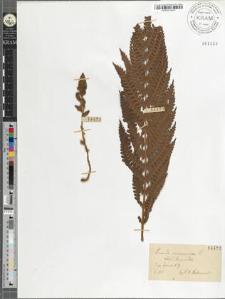 Osmunda cinnamomea L.