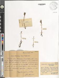 Botrychium lanceolatum (Gmel.) Angstrom