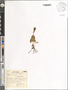Botrychium lunaria (L.) Sw. var. prata Milde