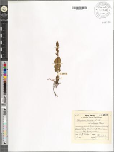 Botrychium lunaria (L.) Sw. var. subincisa Roeper