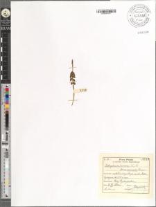 Botrychium lunaria (L.) Sw. var. normalis Roeper