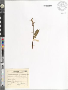 Botrychium lunaria (L.) Sw. var. subincisa Roeper monstrositas Luerssen