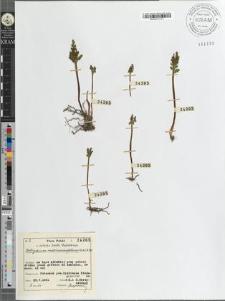 Botrychium matricariaefolium (Retz) A. Br.