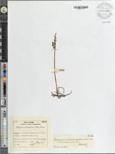 Botrychium ramosum (Roth) Aschers