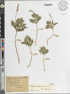 Botrychium virginianum [?]