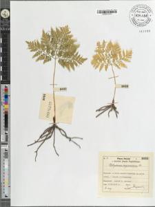 Botrychium virginianum Sw.
