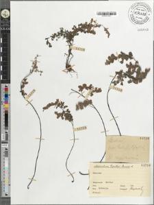 Adiantum Capillus-Veneris L.