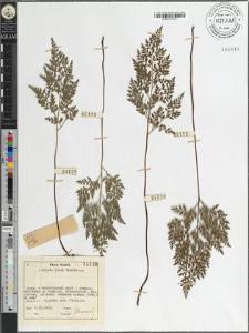 Asplenium onopteris L.