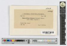 Sphaerotheca fuliginea (Schlecht.) Salmon