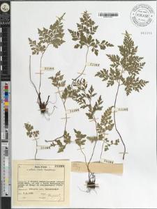 Asplenium cuneifolium Viv.