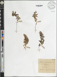Asplenium lanceolatum Sm.