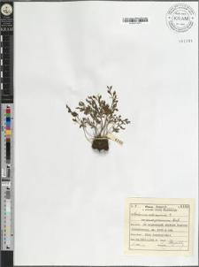 Asplenium ruta muraria L. var. pseudo-germanicum Heufl.
