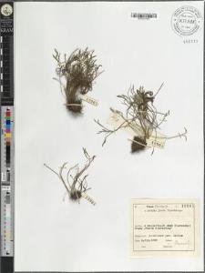 Asplenium septentrionale (L.) Hoffm.