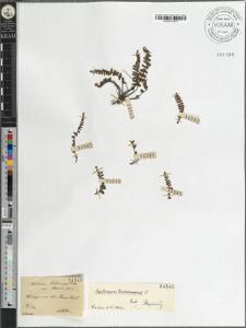 Asplenium Trichomanes Huds. var. [?] Moore