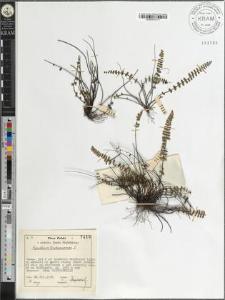 Aspidium trichomanes L.