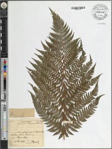Athyrium distentifolium Tausch ex Opiz