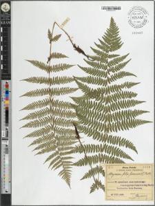 Athyrium filix femina (L.) Roth.