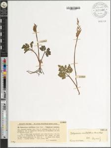 Botrychium multifidum (Gmel.) Rupr.