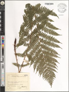 Athyrium filix-femina (L.) Roth.