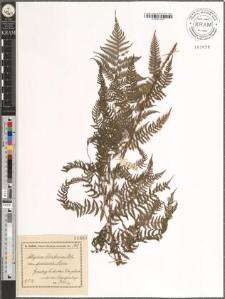 Athyrium Filix femina Rth. var. pruinosa Moore