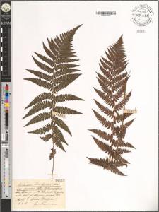 Asplenium Filix femina Bernh. var. fissidens Doell.