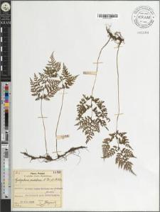 Cystopteris sudetica A. Br. et Milde