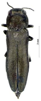 Agrilus integerrimus (J.T.C. Ratzeburg, 1837)