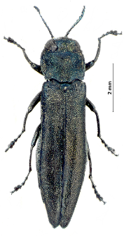 Agrilus suvorovi J. Obenberger, 1935
