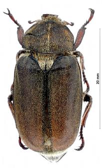 Anoxia villosa (Fabricius, 1782)